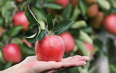 Apples – not as good as we thought?