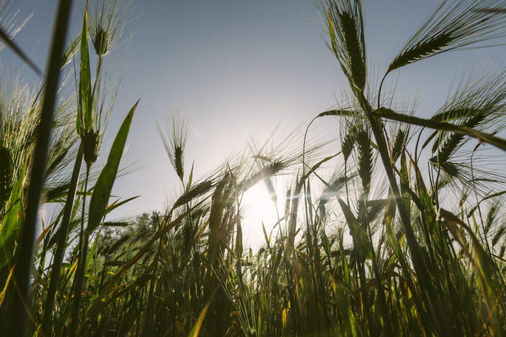 The Fantastic Fertility Effects of Barley